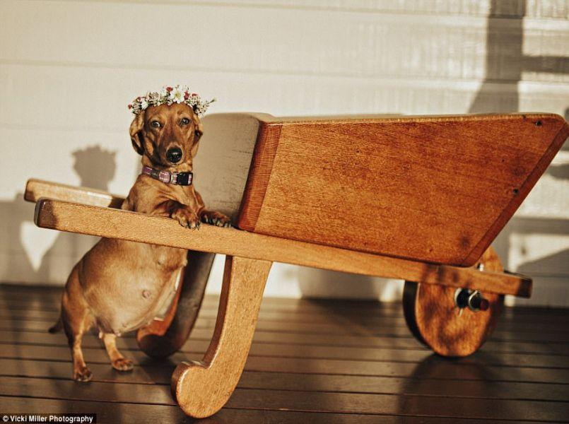 Een prachtige zwangerschapsshoot van… een hond!